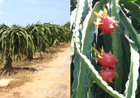 Distribution of quality dragon fruits both for retail and wholesale